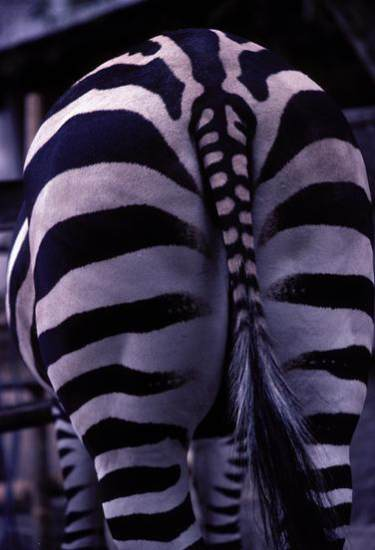 Zebra's bottom